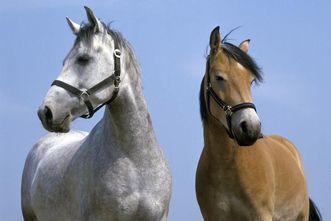 Zwei Pferde (Apfelschimmel links und Brauner rechts)